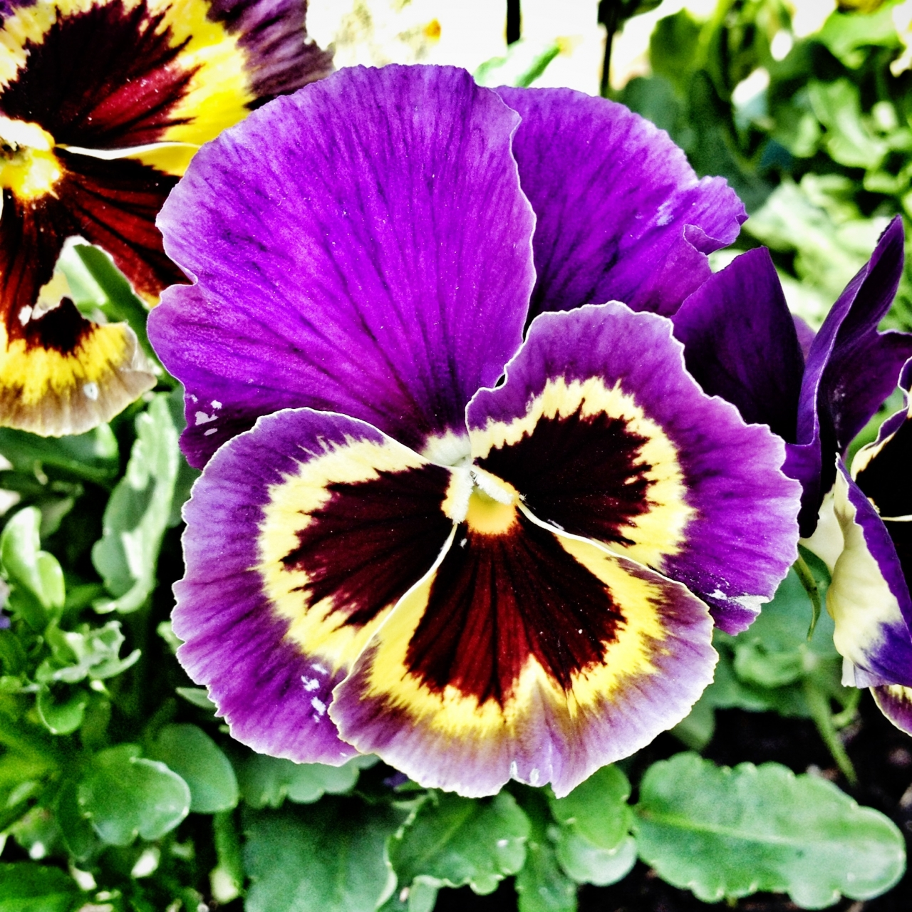 #21DaysWorld #Lincolnshire #Pansy
