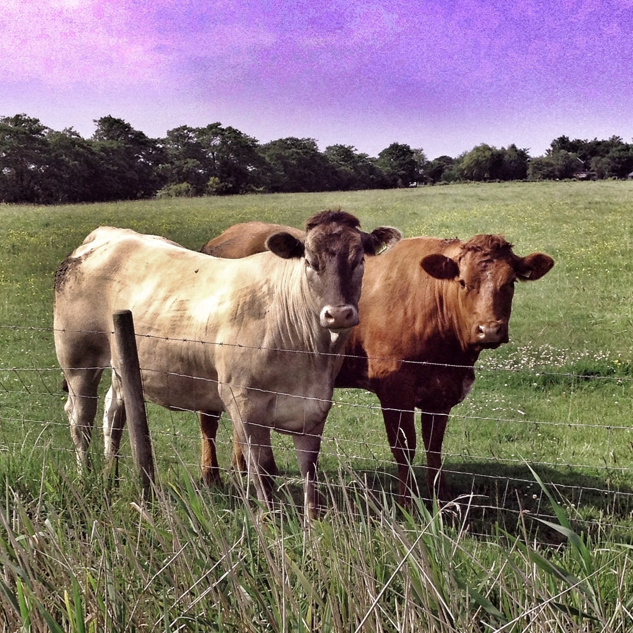 #Day13 #Animal #21DaysWorld #Lincolnshire #cows #LincolnshireRed #BritishWhite