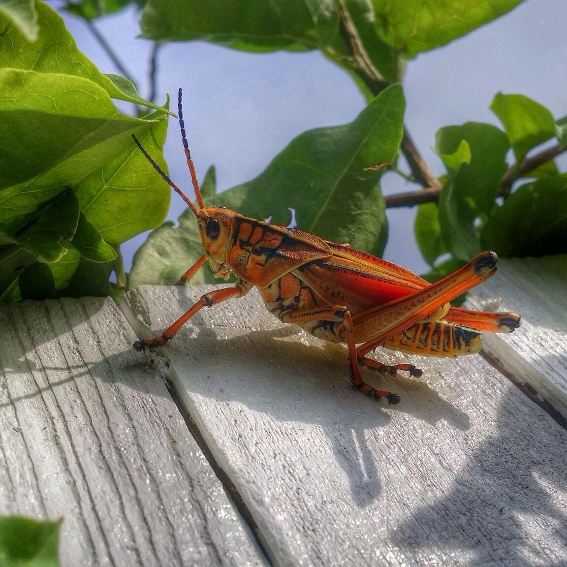 "A ""Beauty"" of a bug... BIG grasshopper, I find them beautiful and we are having..."