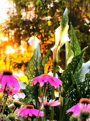 Lily and Cone Flower, Sunrise