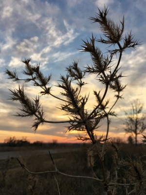Texas thistles at sunset .