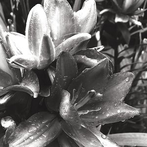 Ornamental Lily, After the Storm